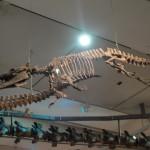 Basilosaurus fossil skeleton