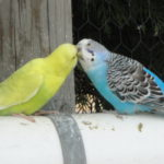 kissing budgerigars