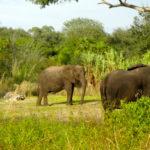 African elephants!