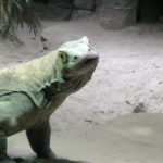 Komodo dragon looking at me!