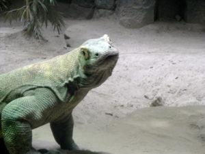 Komodo dragon looking at me!
