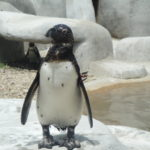 South African penguin