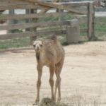 baby dromedary camel